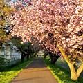 八重桜のトンネル