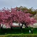 八重桜の散歩道