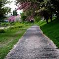 Photos: ピンクの散歩道