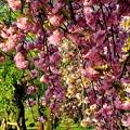 八重桜の小道