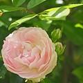 バラの季節がやってきた