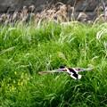 Photos: マガモの飛翔