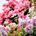 Photos: 薔薇の咲く庭