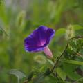 Photos: 野に咲く朝顔