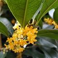 Photos: キンモクセイの香る季節