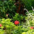 ゼラニウムの咲く庭で