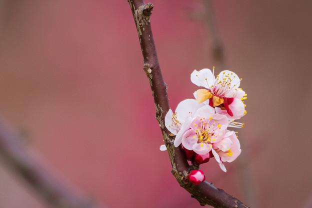 Photos: 梅もそろそろ・・