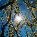 サンシュユ ウニウニ太陽と共に^^