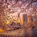 中央大橋の桜 その1