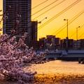 中央大橋の桜 その2