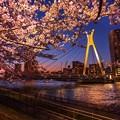 Photos: 中央大橋の桜 その4