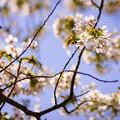 光に透ける桜~