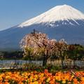 河口湖 大石公園にて 富士と桜とチューリップ