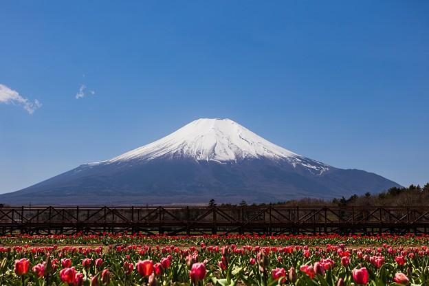 山中湖 花の都公園にて 富士山とチューリップ畑