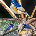 Photos: 瑠璃三鳥