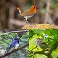 日本三鳴鳥