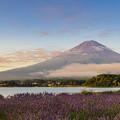 富士山とラベンダー 朝焼け