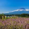 富士山とラベンダー 青空