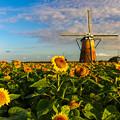 朝陽を浴びる向日葵と風車