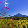 コスモスと緑コキアと富士