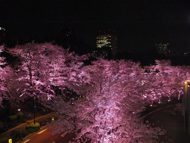 六本木(ド派手)夜桜