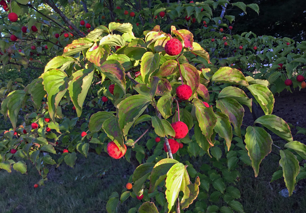 Photos: 木の実 木のまま