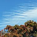 ハナミズキと波打つ雲