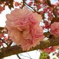 牡 丹 桜