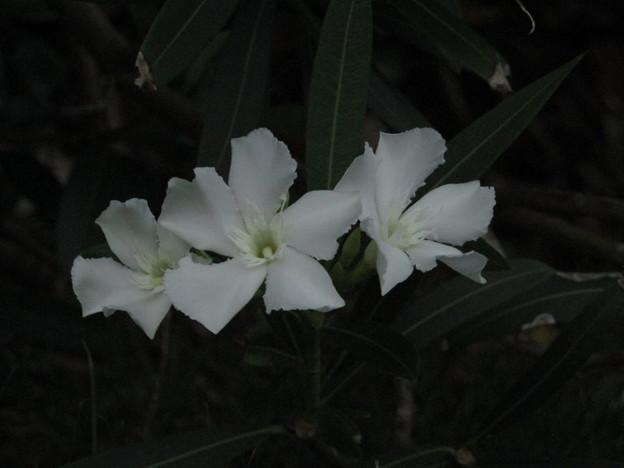 夾 竹 桃(白)