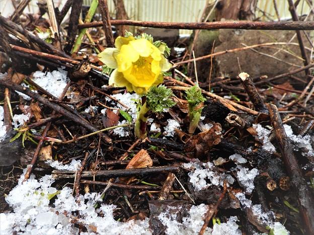 名残雪に凍える福寿草