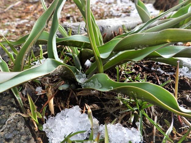 名残雪に凍えるチューリップ