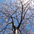 公園桜_1