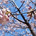 公園桜_2