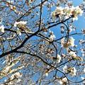 庭の桜_1
