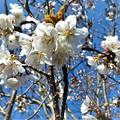 庭の桜_2