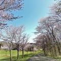 自然公園の桜並木