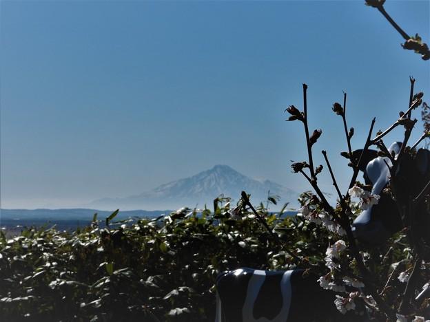 千島桜と利尻富士