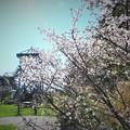 千島桜と展望台