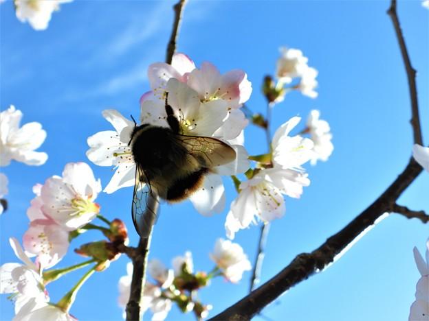 千島桜と蜂