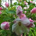 蝦夷小林檎の花
