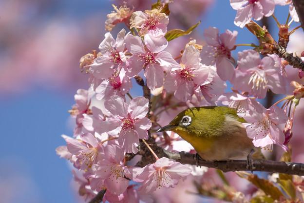 Photos: 桜メジロ #1