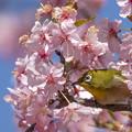 桜メジロ #1
