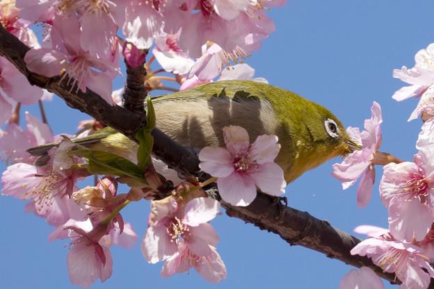 Photos: 桜メジロ #2