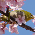 桜メジロ #2