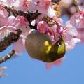 Photos: 桜メジロ #3