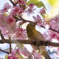 Photos: 桜メジロ #4