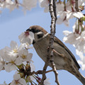 Photos: 桜とスズメ #1