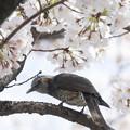 Photos: 桜とヒヨドリ #1