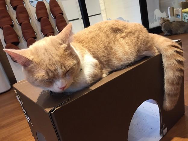 猫カフェもふにゃん2017年秋・くぅちゃん1