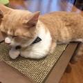 Photos: 猫カフェもふにゃん2017年秋・くぅちゃん2